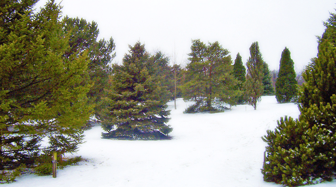 Winterize Your Evergreens with Deer Defeat